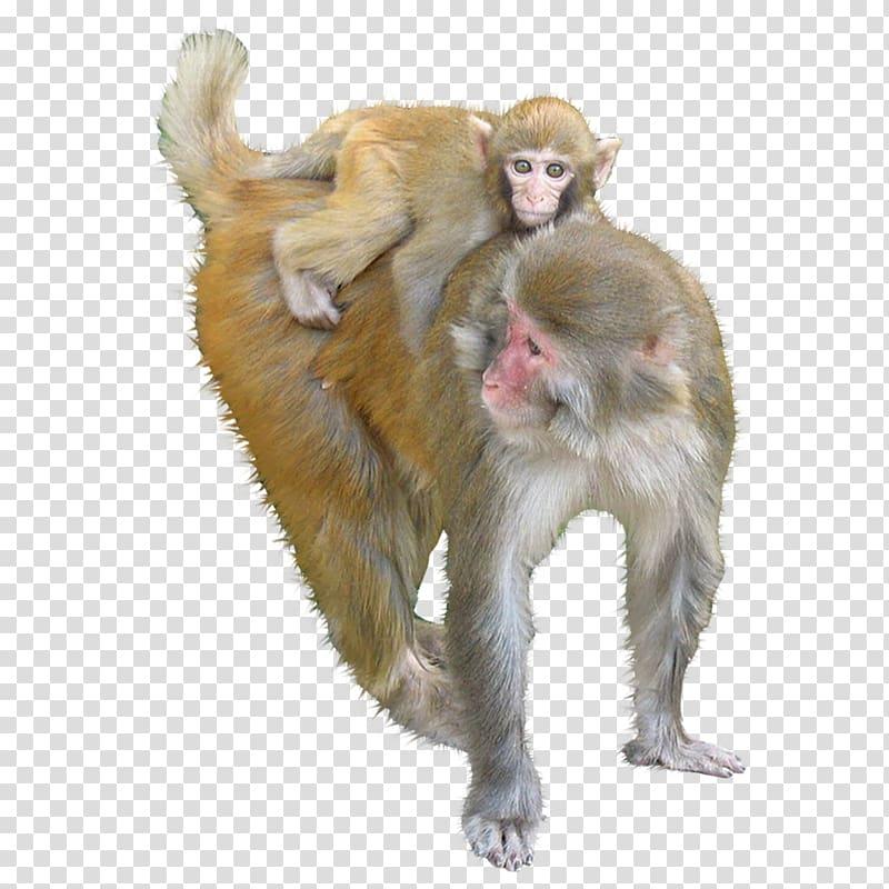 clip art free stock Ape clipart macaque. Monkey animals monkeys transparent.