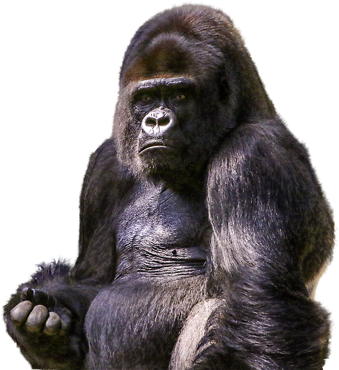 vector black and white stock Free image on pixabay. Ape clipart mammal