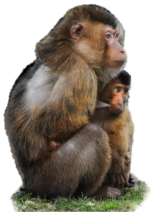 jpg library library Monkey hd png transparent. Ape clipart mokey