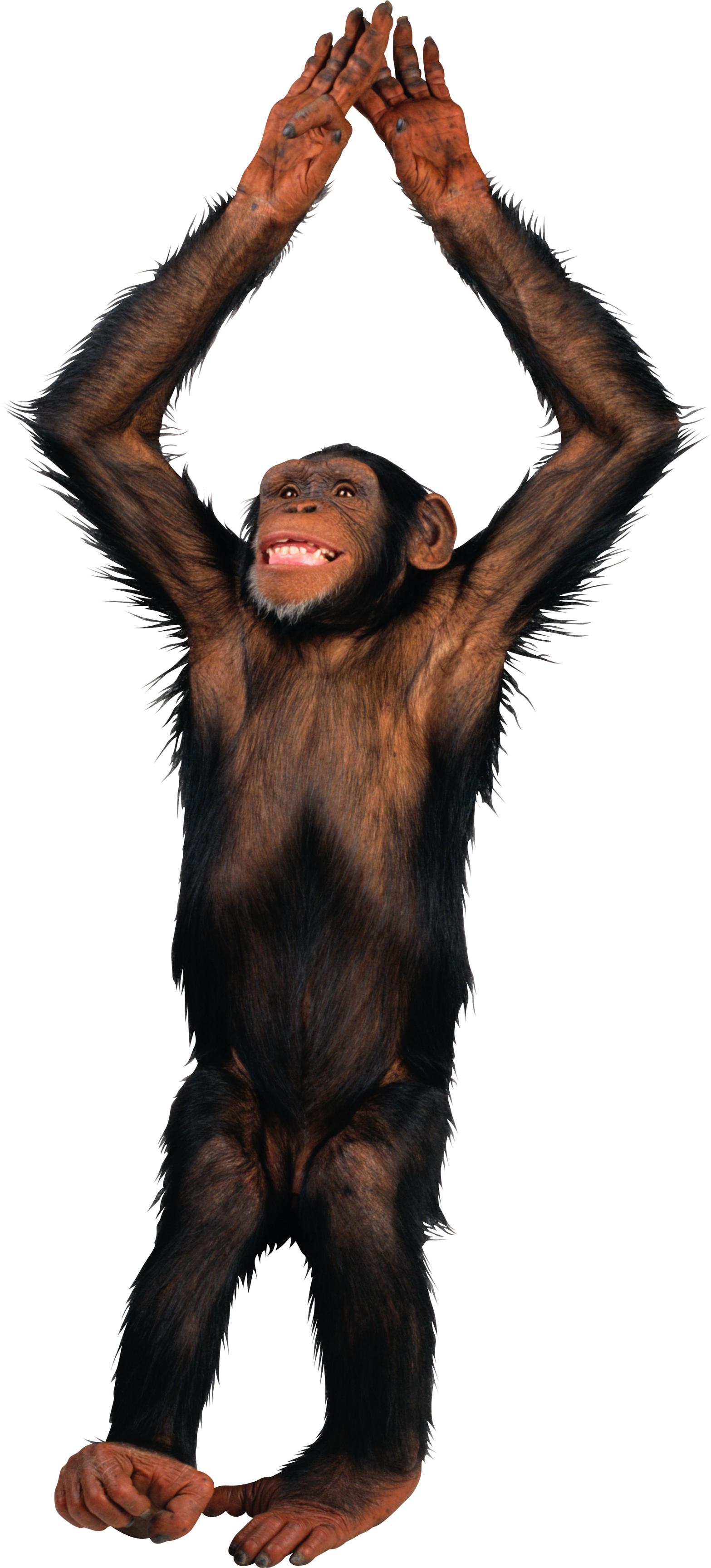 svg Ape clipart monke. Monkey png