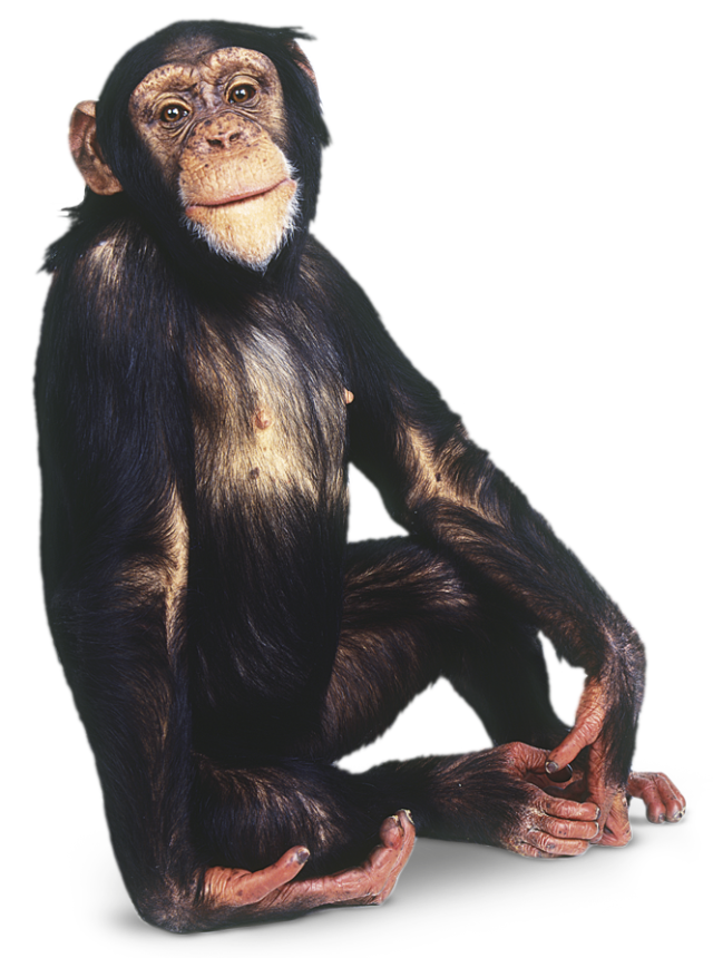 image transparent download Png images free download. Ape clipart monkey tail
