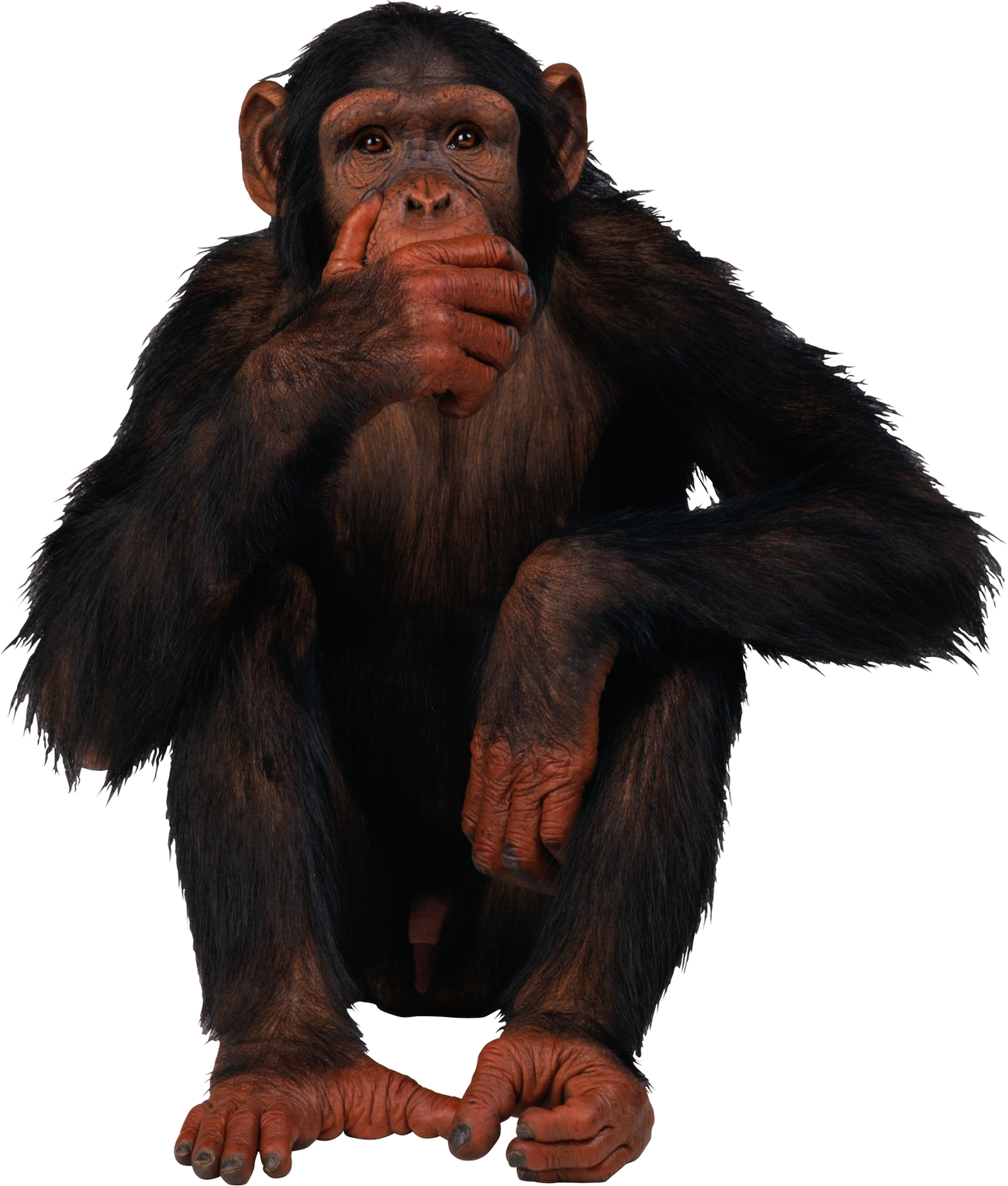 jpg transparent stock Monkey png . Ape clipart monky