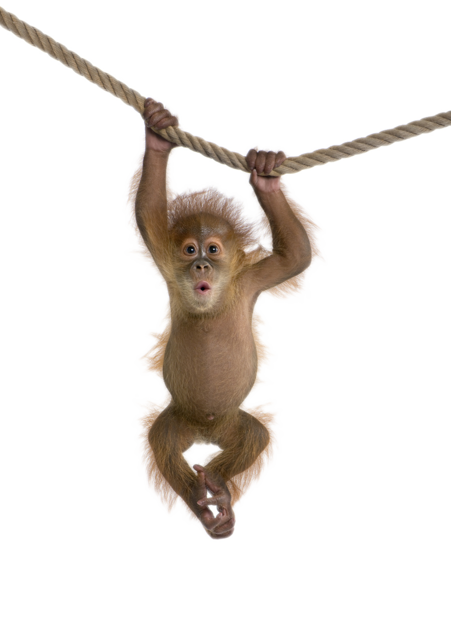 picture royalty free stock Ape clipart monley. Monkey icon png web