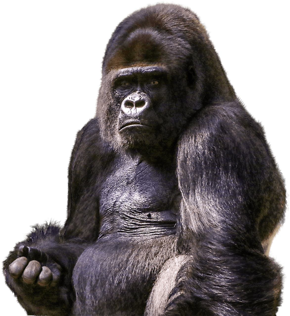freeuse library Sitting transparent png stickpng. Ape clipart mountain gorilla