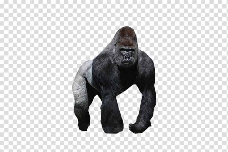 png royalty free download Ape clipart mountain gorilla. Western orangutan chimpanzee
