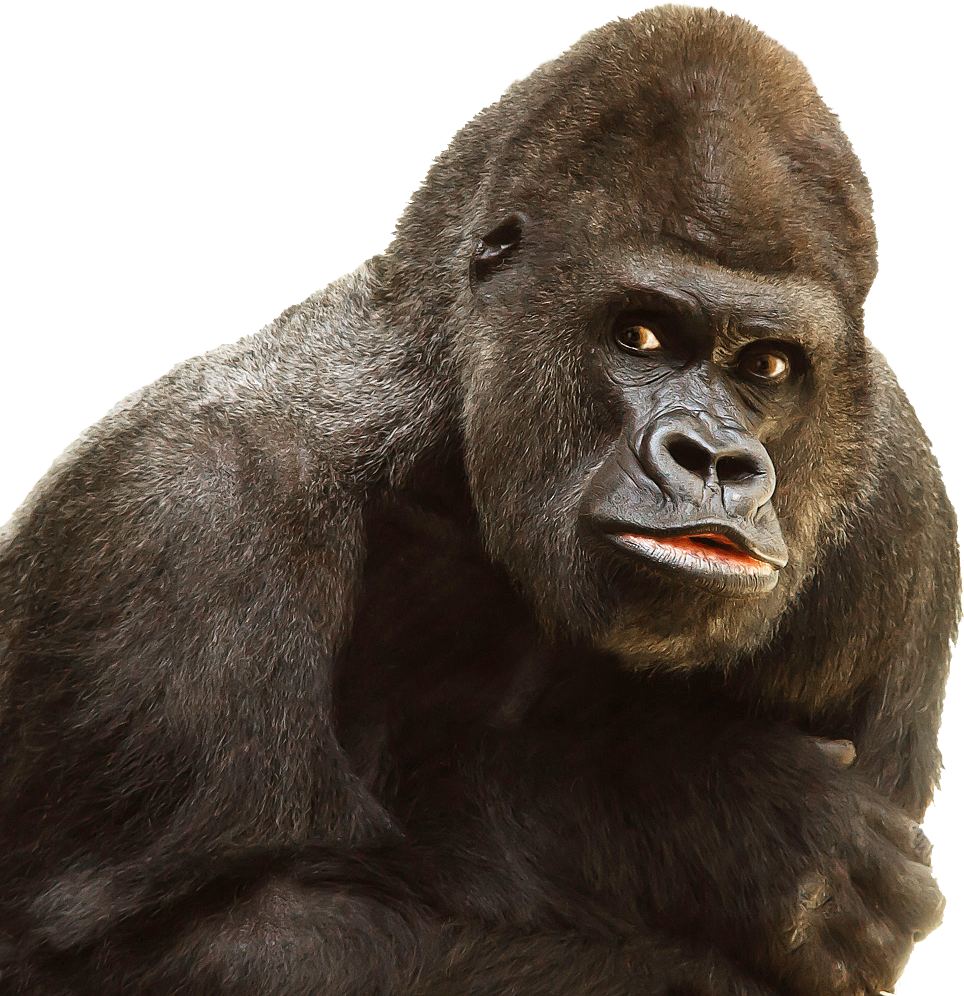 clip art library Collection of free guerilla. Ape clipart mountain gorilla
