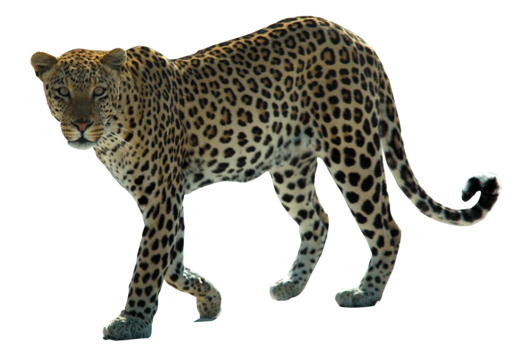 jpg transparent library Ape clipart transparent background. Leopard png images all