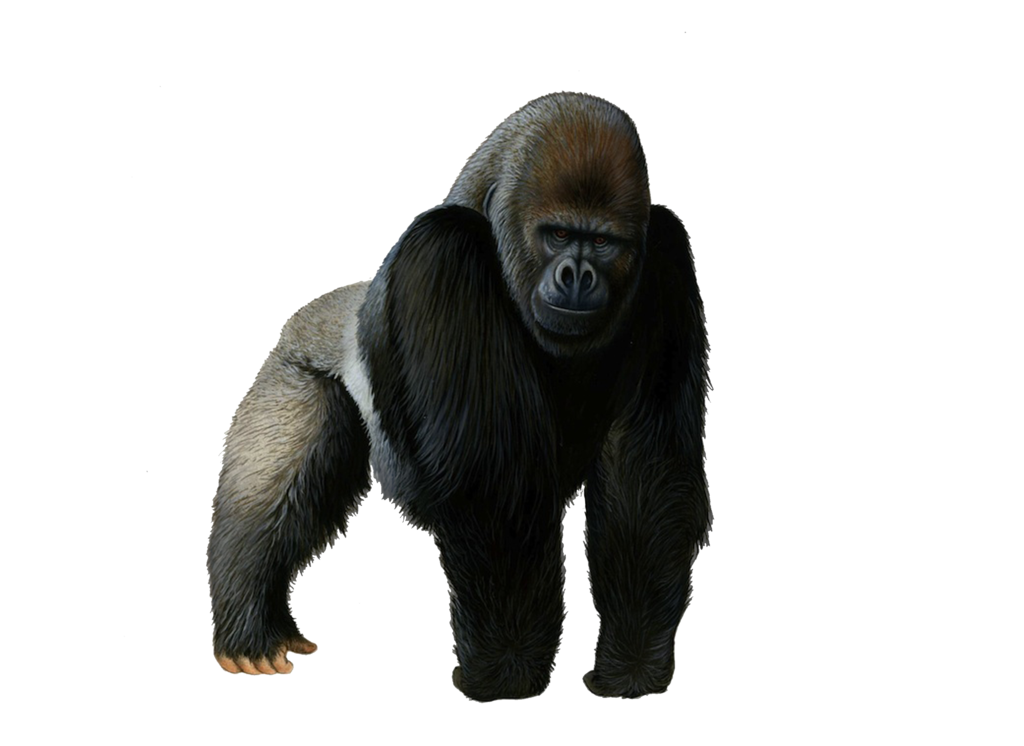 png transparent stock Ape clipart transparent background. Collection of free guerilla