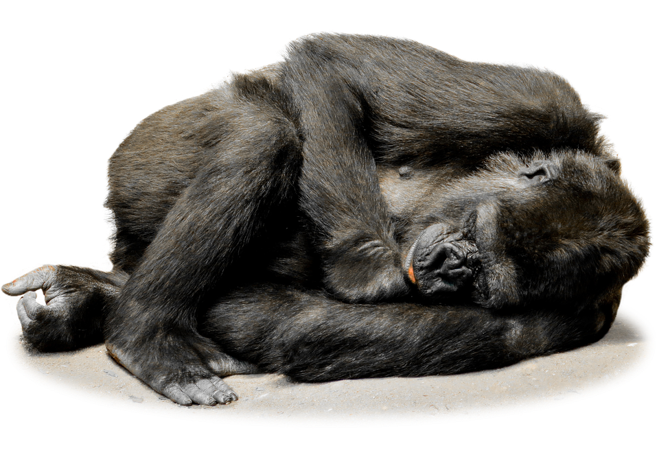 freeuse library Ape clipart zoo gorilla. Free png transparent images.