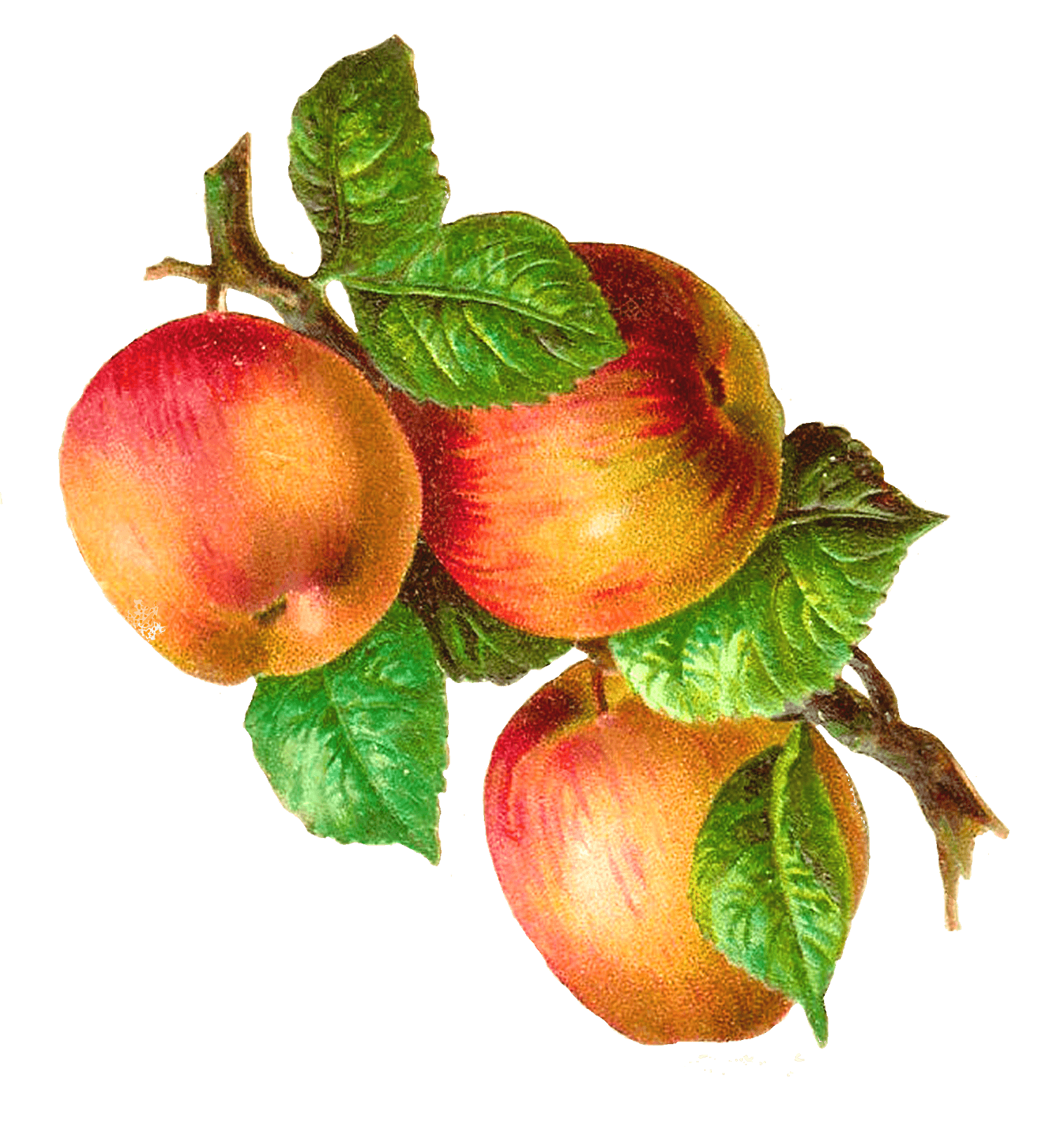 picture library library Apples On A Branch Vintage transparent PNG