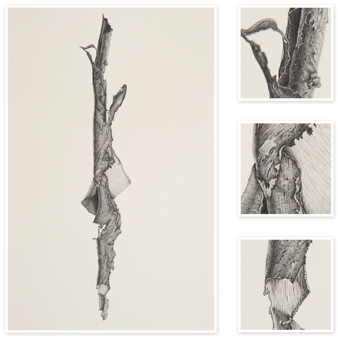 download Bark Strip from a Eucalypt