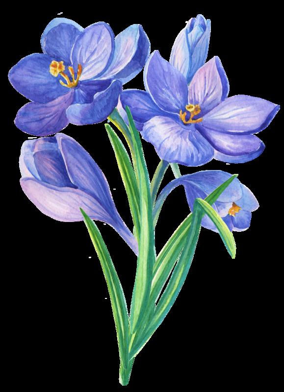 png transparent library Crocus drawing botanical illustration. Crocuses bouq png pinterest.