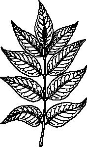 banner download Ash Leaves Clip Art at Clker