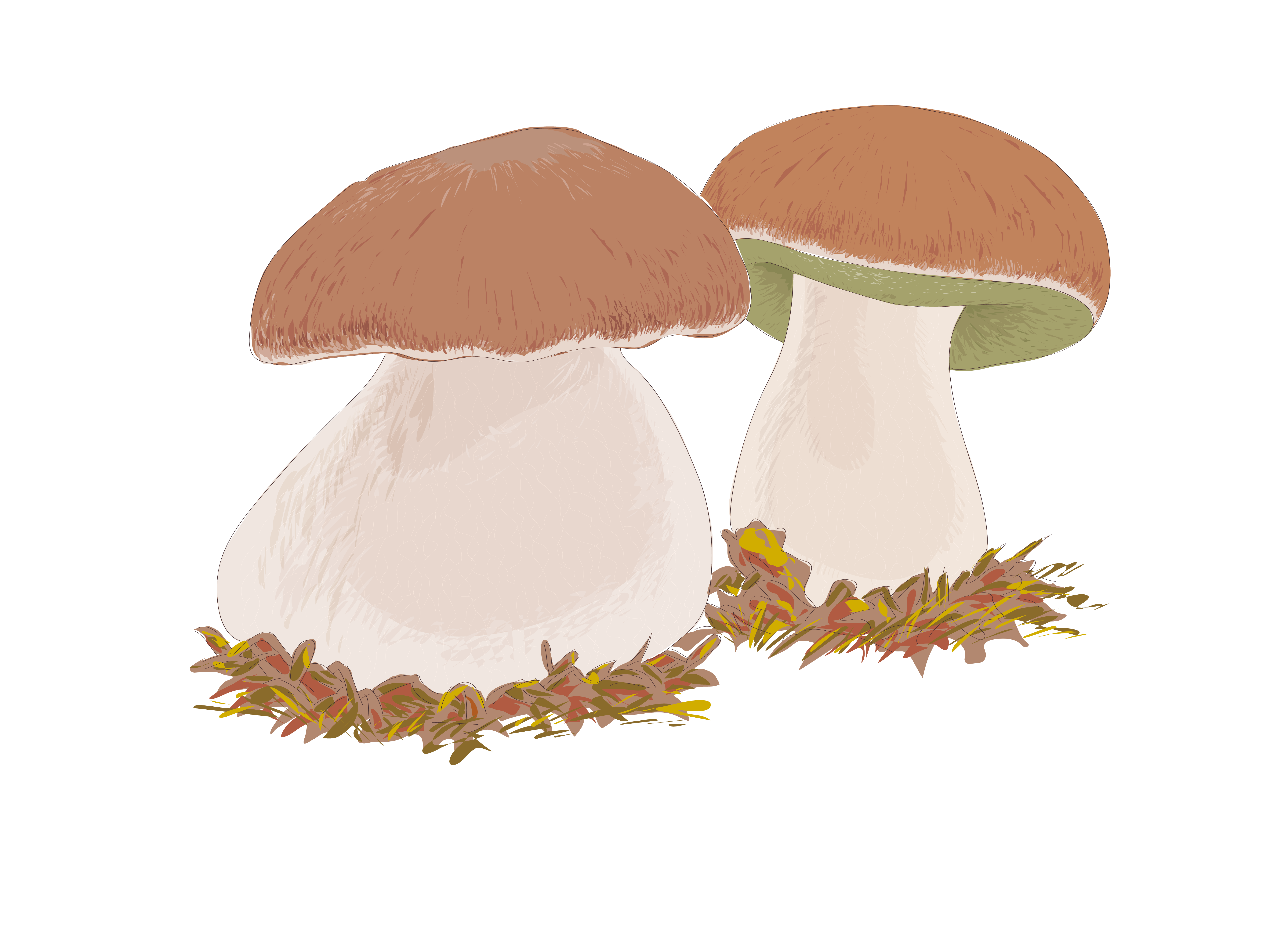clip art stock Boletus edulis Edible mushroom Drawing