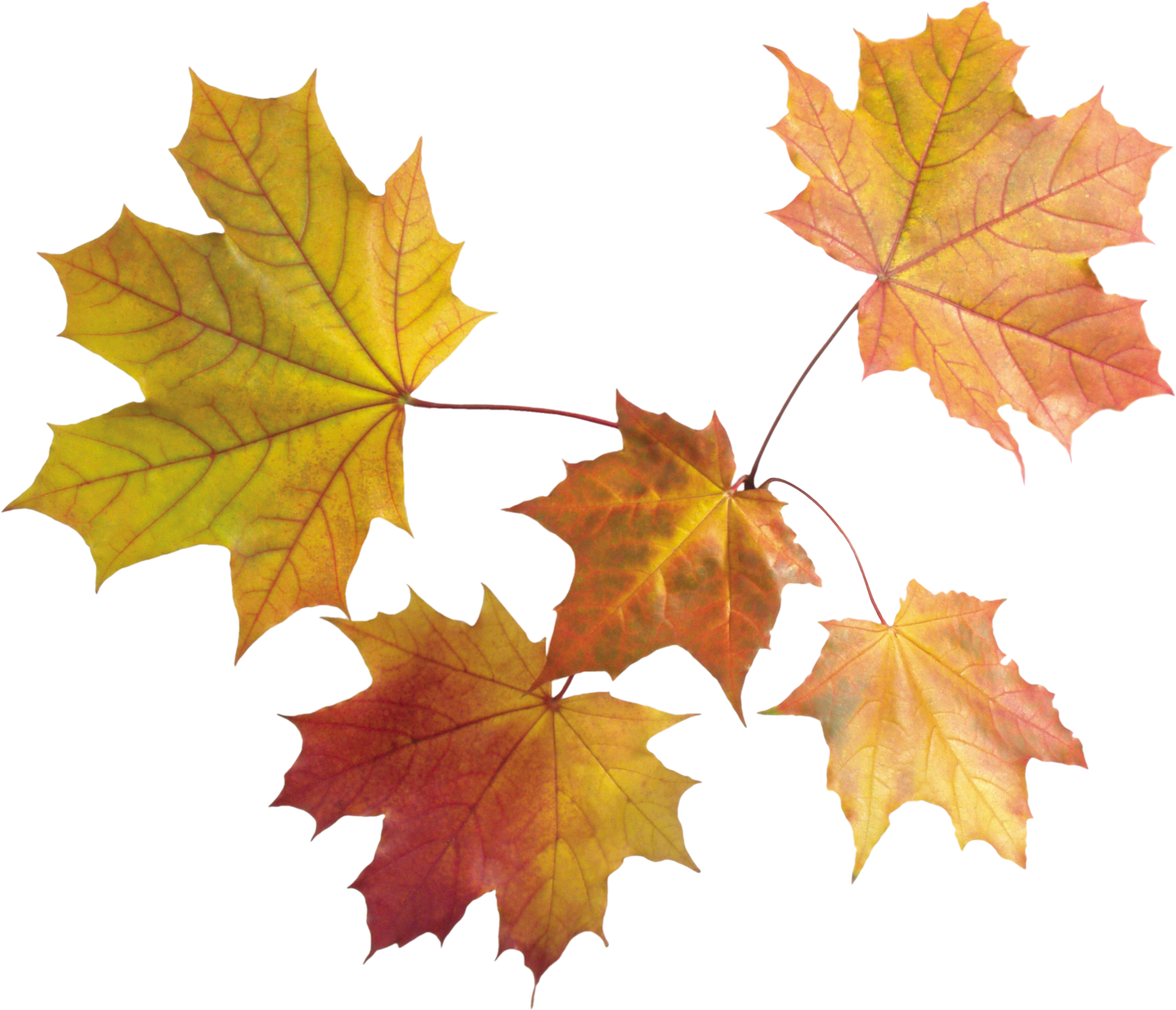 jpg transparent stock Autumn Leaf PNG Image