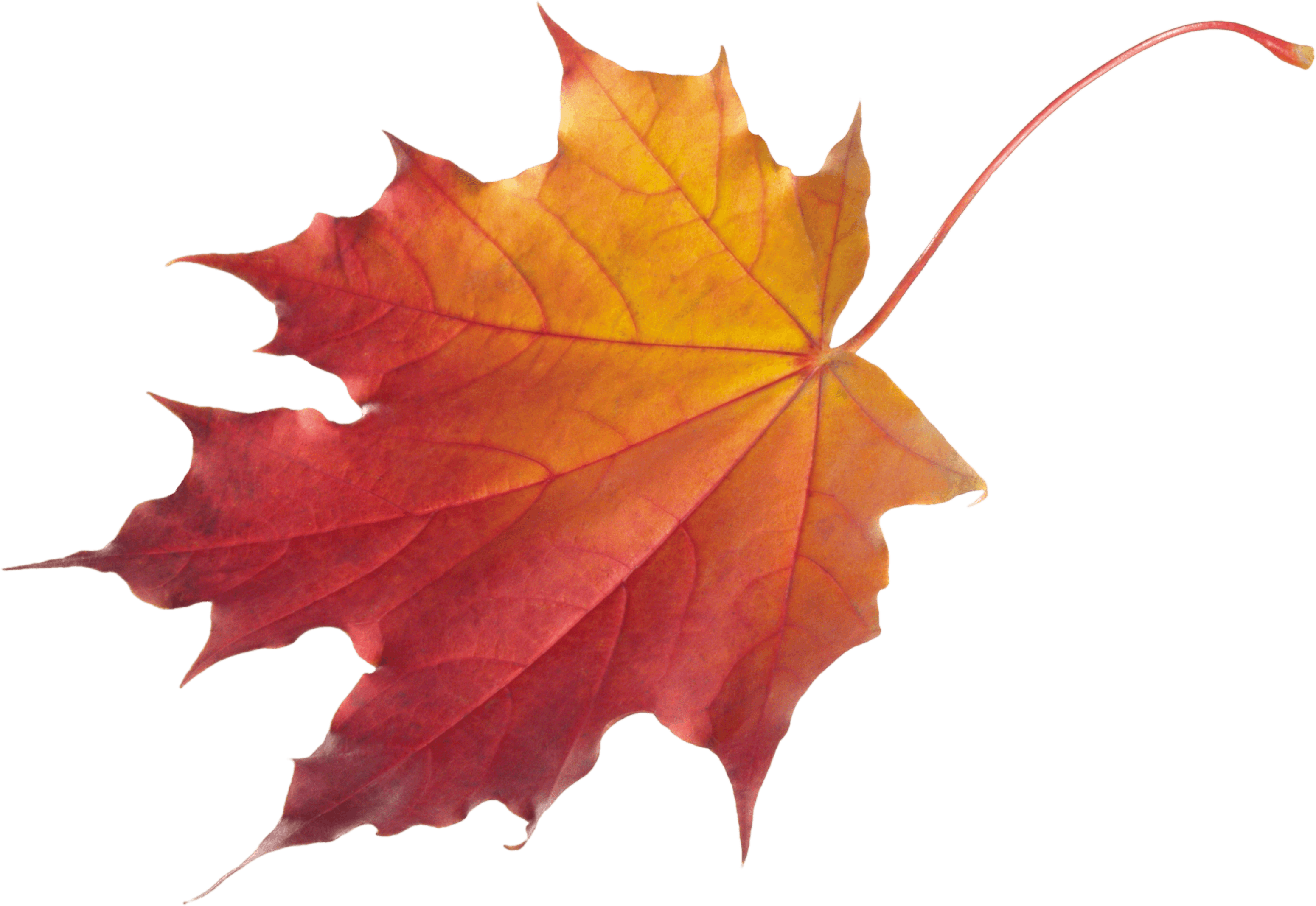 clip royalty free stock Autumn Leaf Drawing at GetDrawings