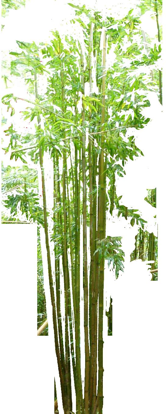 vector royalty free stock Bamboo Bambou Bambu