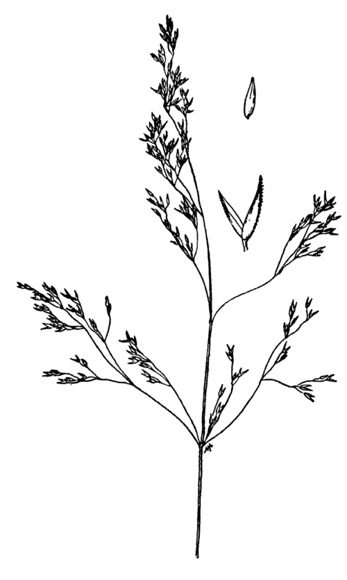 clipart black and white stock Poaceae of Tehama County