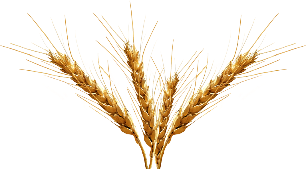 graphic transparent library Drawn grain beer barley