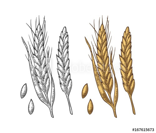 clipart royalty free download Ear of wheat and. Barley drawing malted