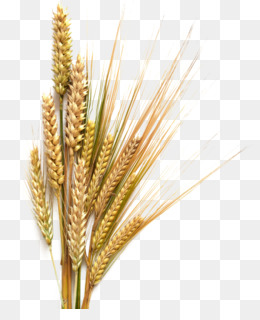 banner free download Barley drawing wheat. Png vector hops