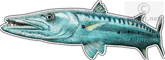 image library library Wildlife art ocean reef. Barracuda drawing