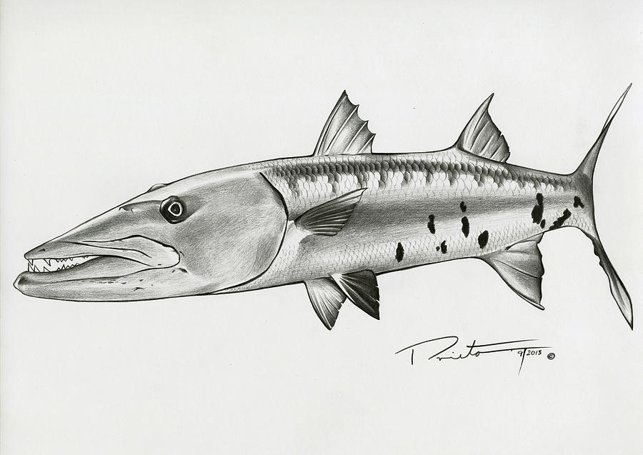 jpg transparent Barracuda drawing.