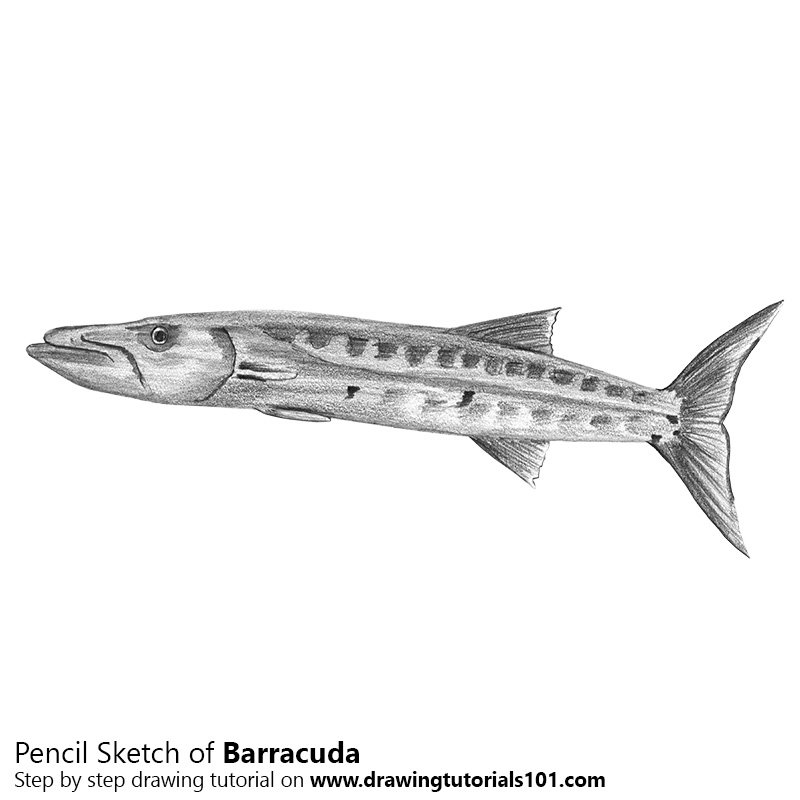 transparent library Pencil how to sketch. Barracuda drawing