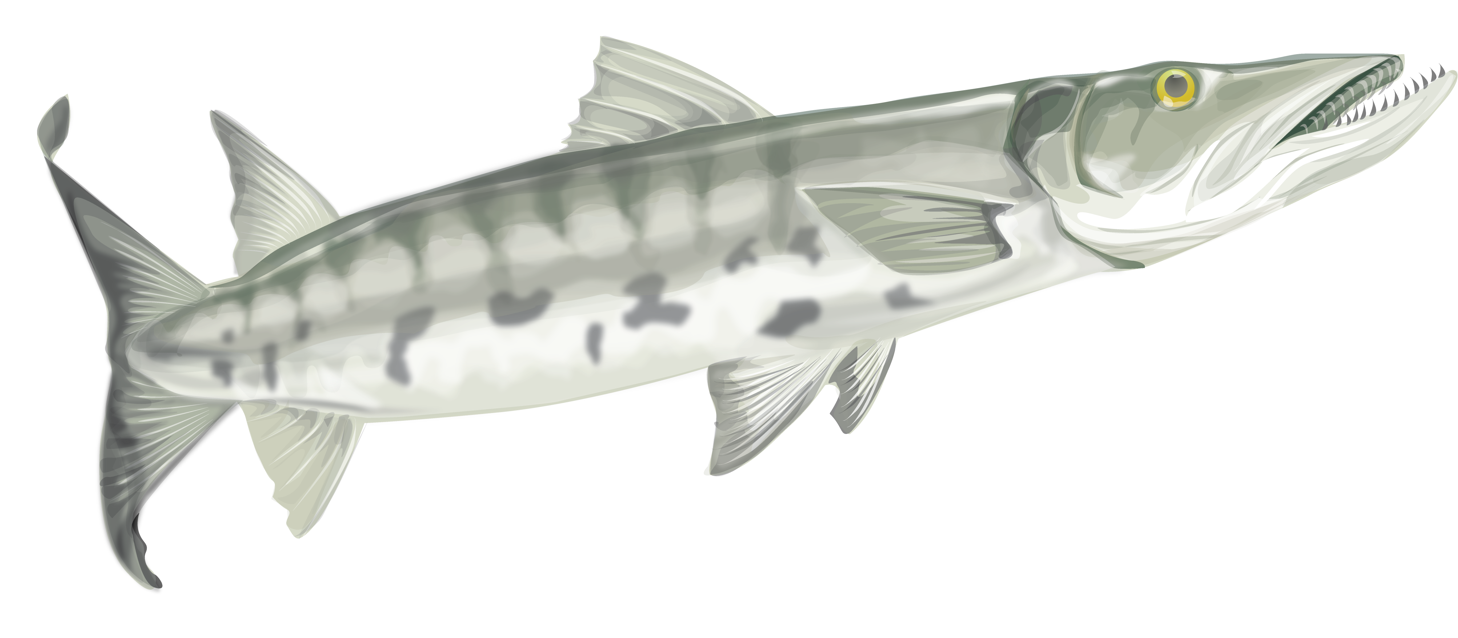 graphic library download Images of spacehero fish. Barracuda drawing