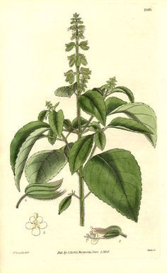 png free stock Basil drawing botanical illustration. Google search