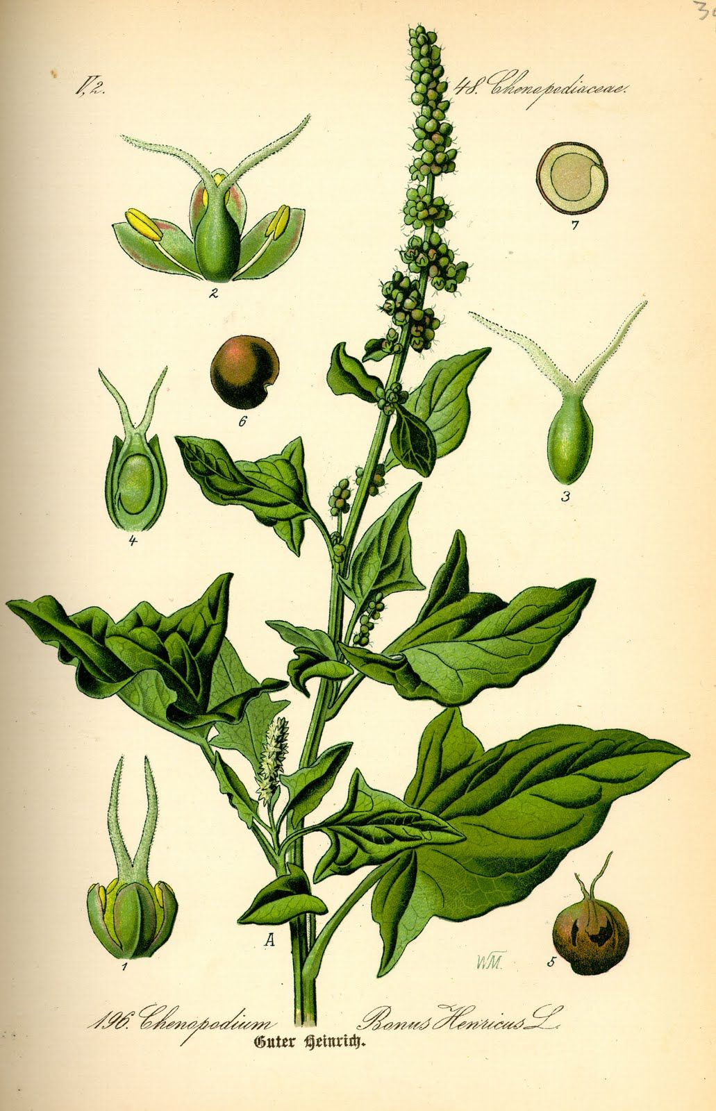 png transparent Basil drawing botanical illustration. Google search plantz