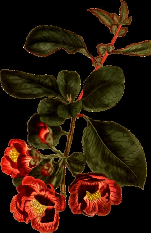 svg freeuse Basil drawing botanical print. Flower prints botany tulip