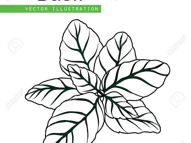 jpg black and white stock Basil drawing clipart. Plant free download best