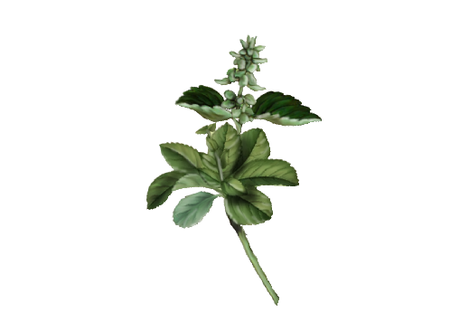 image freeuse download Basil drawing flowering. Garden wedding flower graphics