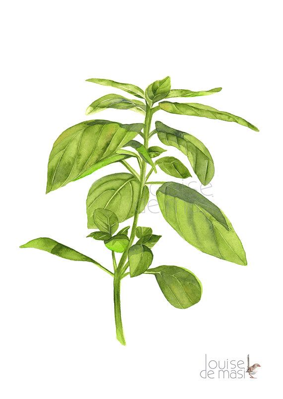 png freeuse download Print of watercolor a. Basil drawing leaves painting