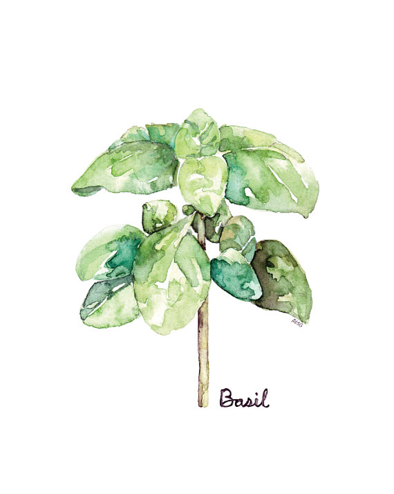 jpg free stock Herb print from my. Basil drawing leaves painting