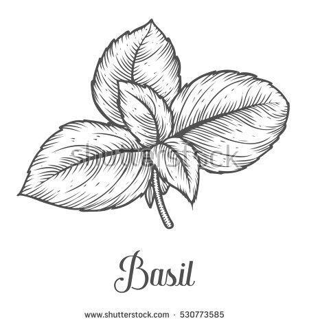 jpg free download Basil line drawing