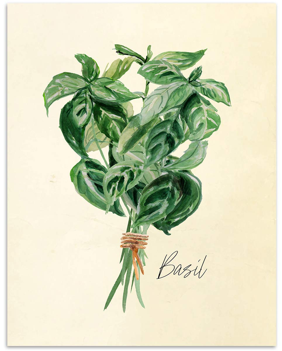 picture library stock Basil drawing scientific. Amazon com kitchen herb