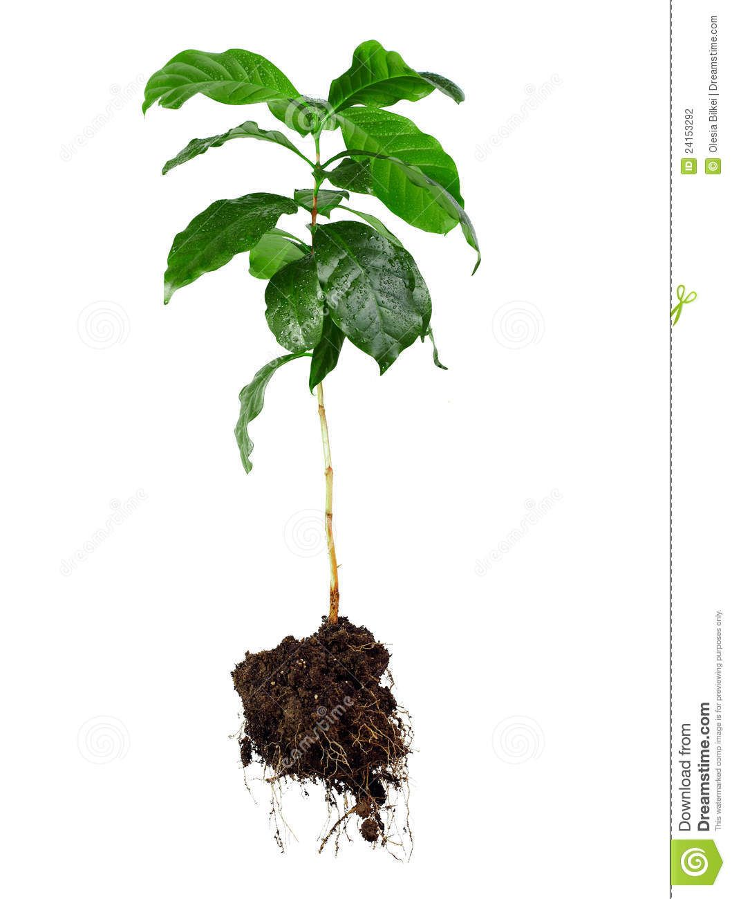 clip art library download Basil drawing tree. With roots plant plants