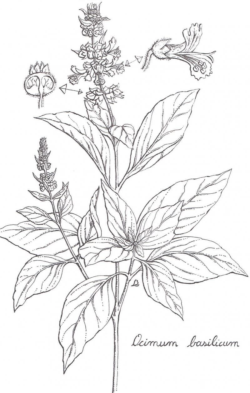 clip art stock Basil drawing tree.  for free download