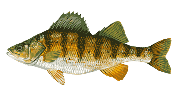 banner freeuse Bass clipart freshwater fish. Great clip art of.