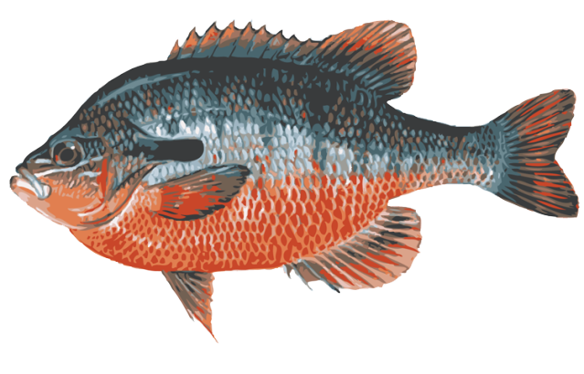 clip freeuse library Great clip art of. Bass clipart freshwater fish.