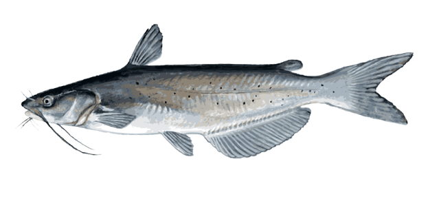picture transparent stock Bass clipart freshwater fish. Great clip art of.
