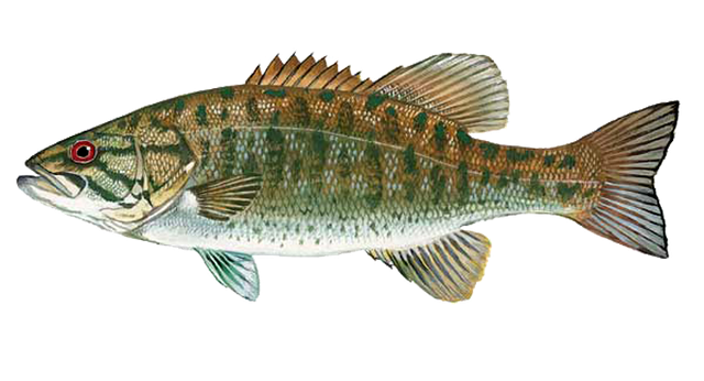 svg freeuse Free for download on. Bass clipart freshwater fish.