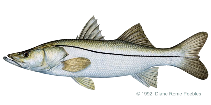 clip art transparent library Salmon transparent snook. Pacific png