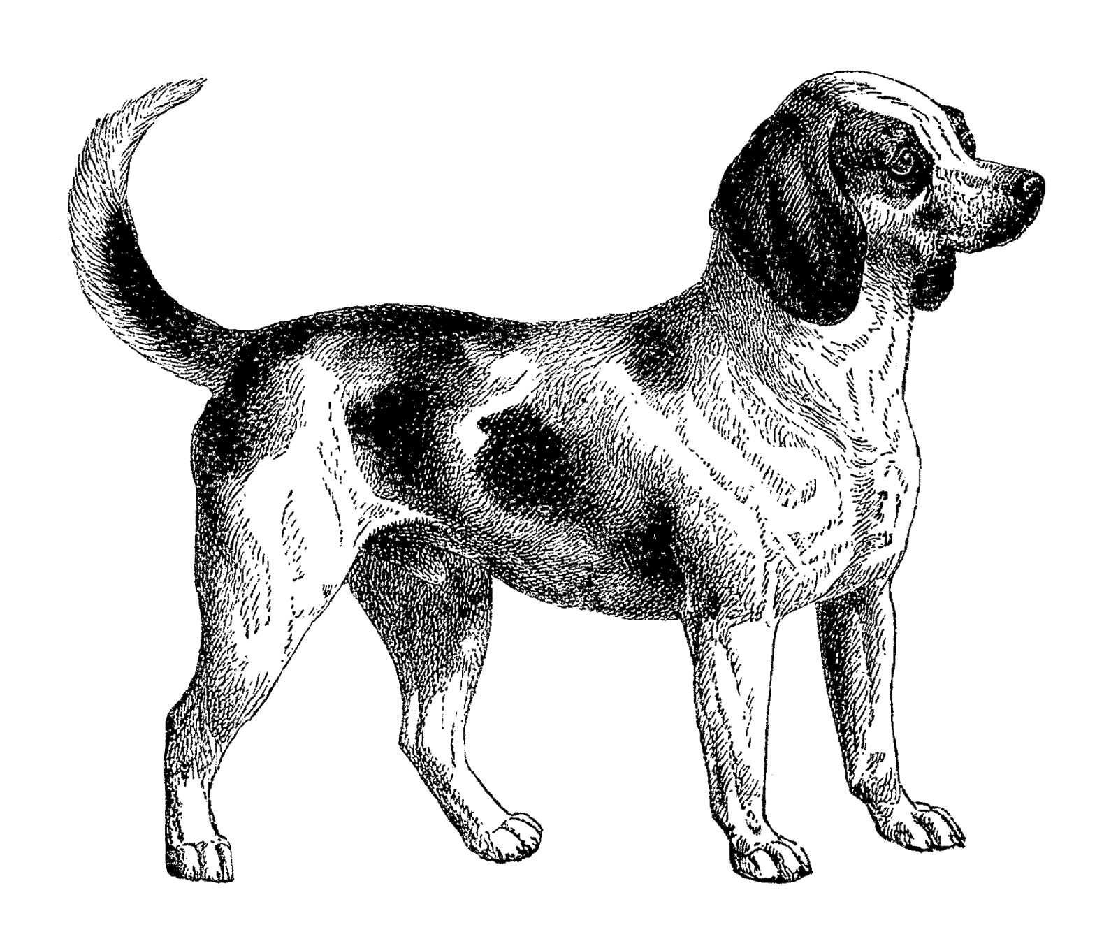 jpg library download Drawing charcoal dog. Beagle clipart playful puppy