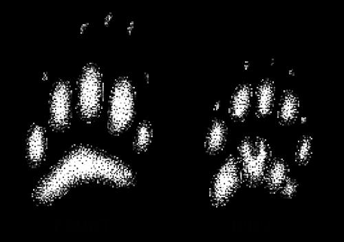 clip art free download Bear tracks clipart. Badger