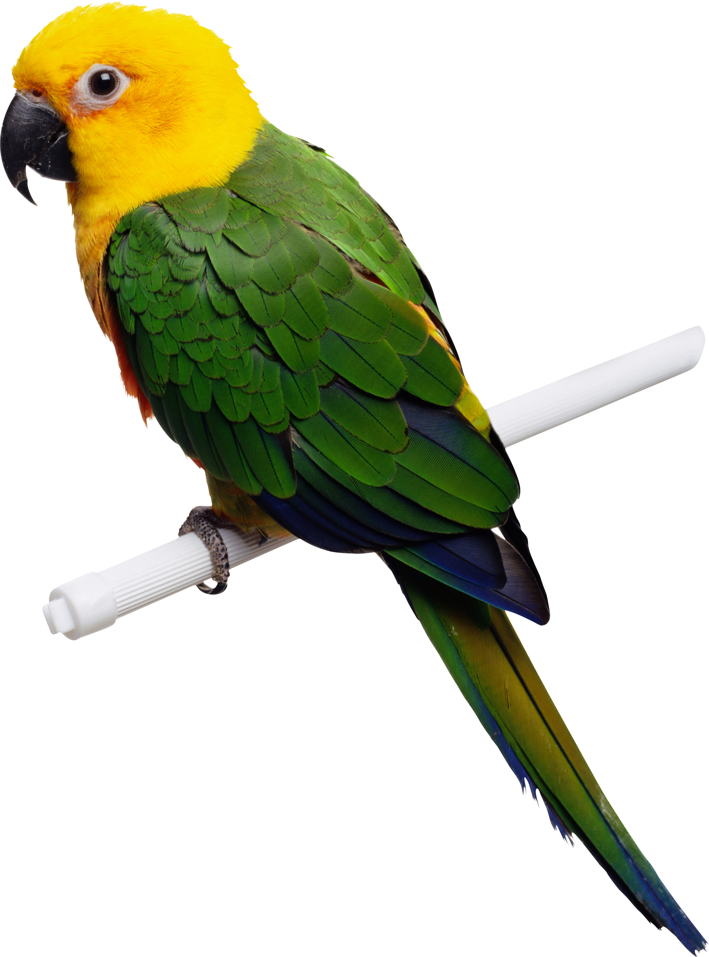 clip art transparent library Parrots drawing illustrated. Green yellow parrot png