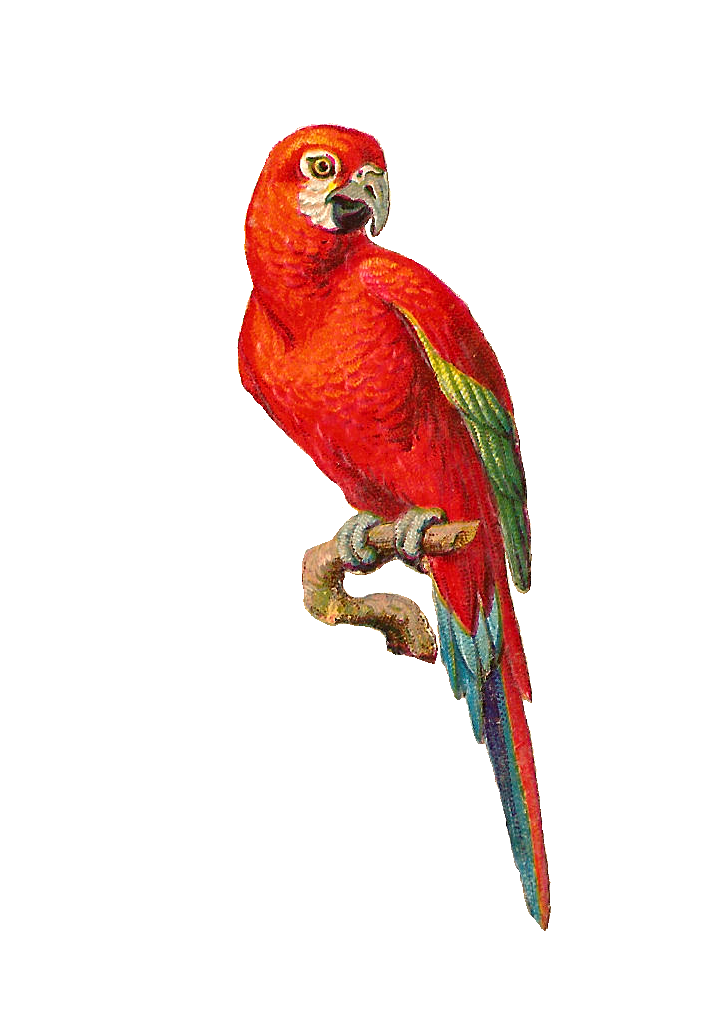 clip freeuse download Beautiful clipart beautiful parrot. Antique images bird clip