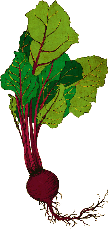 graphic royalty free Beet drawing. Ellie t studio illustration